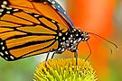 Monarch butterfly  by Eyal Nahmias