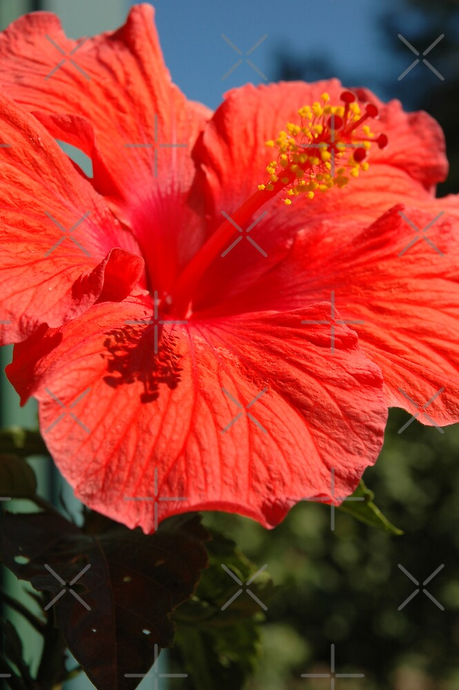 Hibiscus by christiane