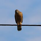 Red Shouldered Hawk I by Laura Puglia