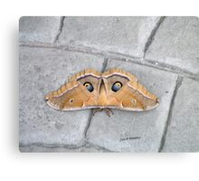 Antheraea polyphemus Canvas Print
