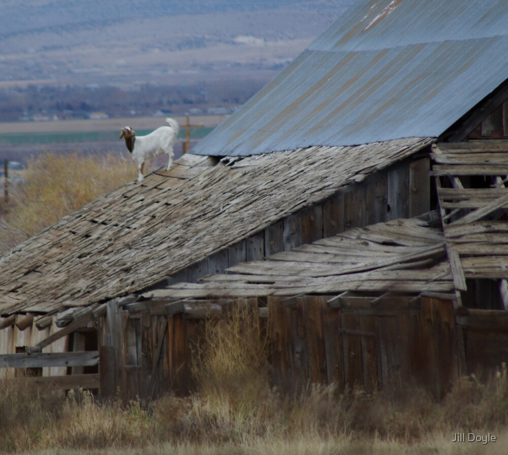 Goat On A Roof by Jill Doyle