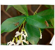 Hoverfly On Star Jasmine Poster