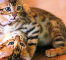 Bengal Kittens at Play Sticker