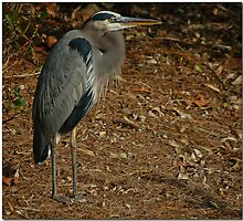 Great Blue Heron by Andreas Mueller