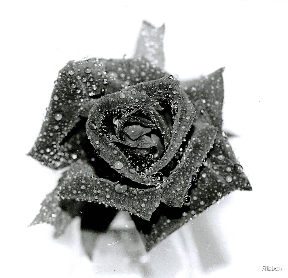 Red Rose in Black and White by Ribbon