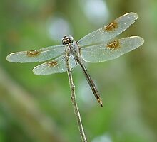 Dragonfly by Phil  Davis