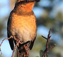 Varied Thrush by Carl Olsen