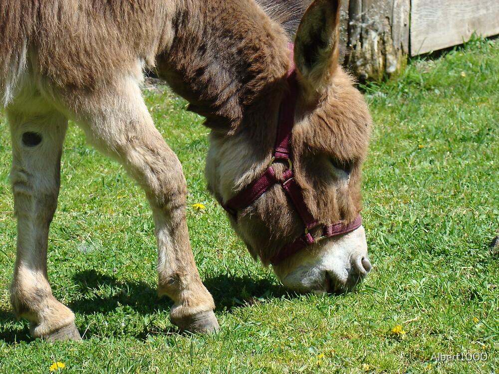 Donkey eating by Albert1000