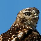 Red Tailed Hawk by Dennis Cheeseman
