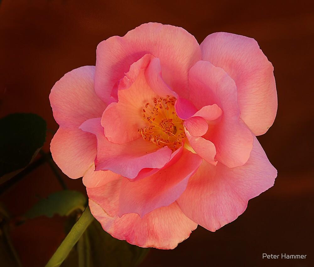 Golden Rose by Peter Hammer