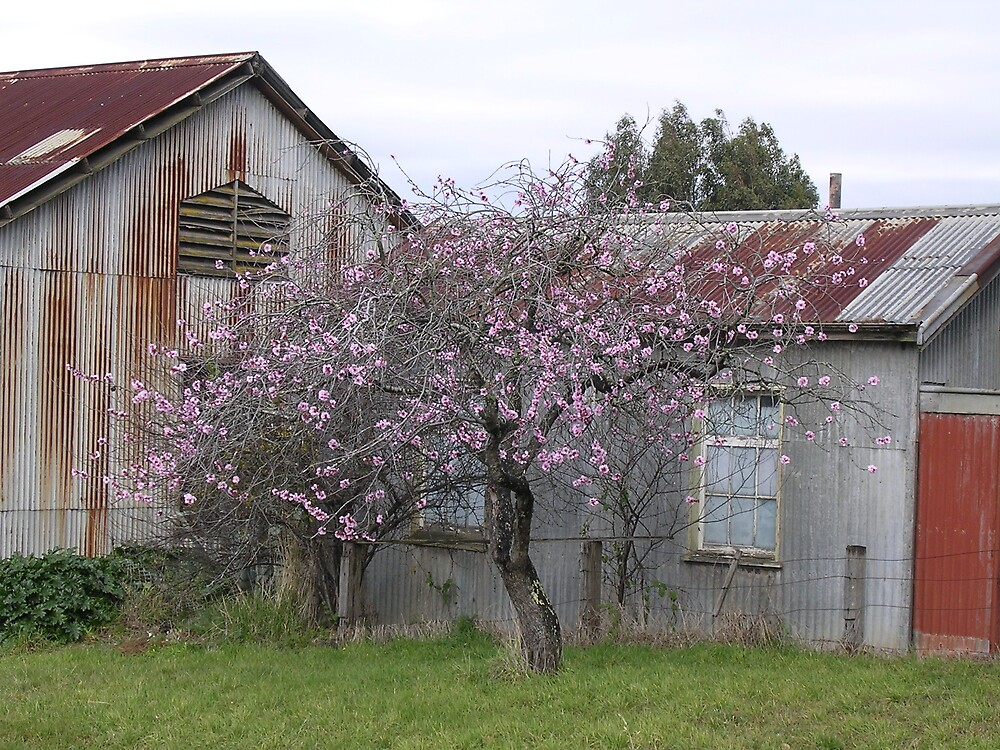 Sheds and Cherry Blossoms by Joan Wild