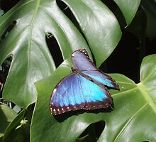 Blue Butterfly by Deborah  Bowness