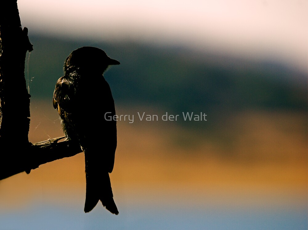 Silhouette of Forked-Tailed Drongo by Gerry Van der Walt