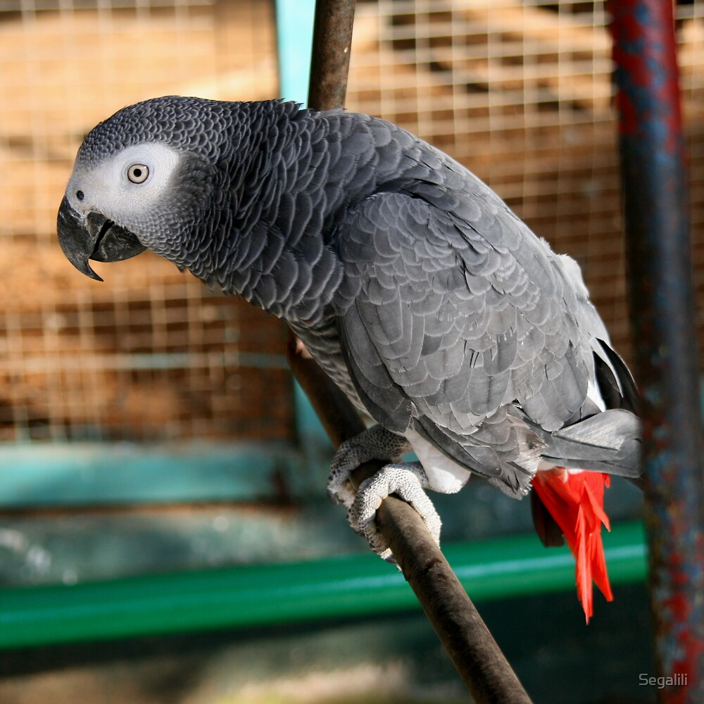 African Grey Parrot by Segalili
