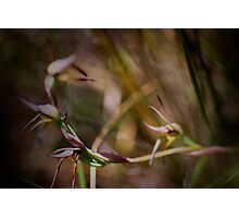 AUSTRALIAN BROWN BEAK ORCHID Photographic Print