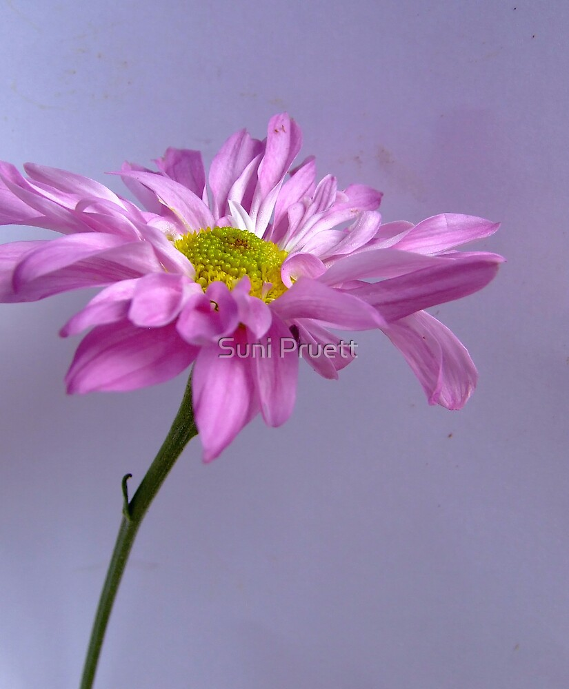 A hint of purple.. by Suni Pruett