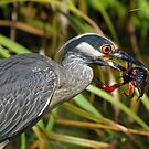 Yellow Crowned Night Heron Eating Crawfish by Bonnie T.  Barry