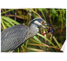 Yellow Crowned Night Heron Eating Crawfish Poster