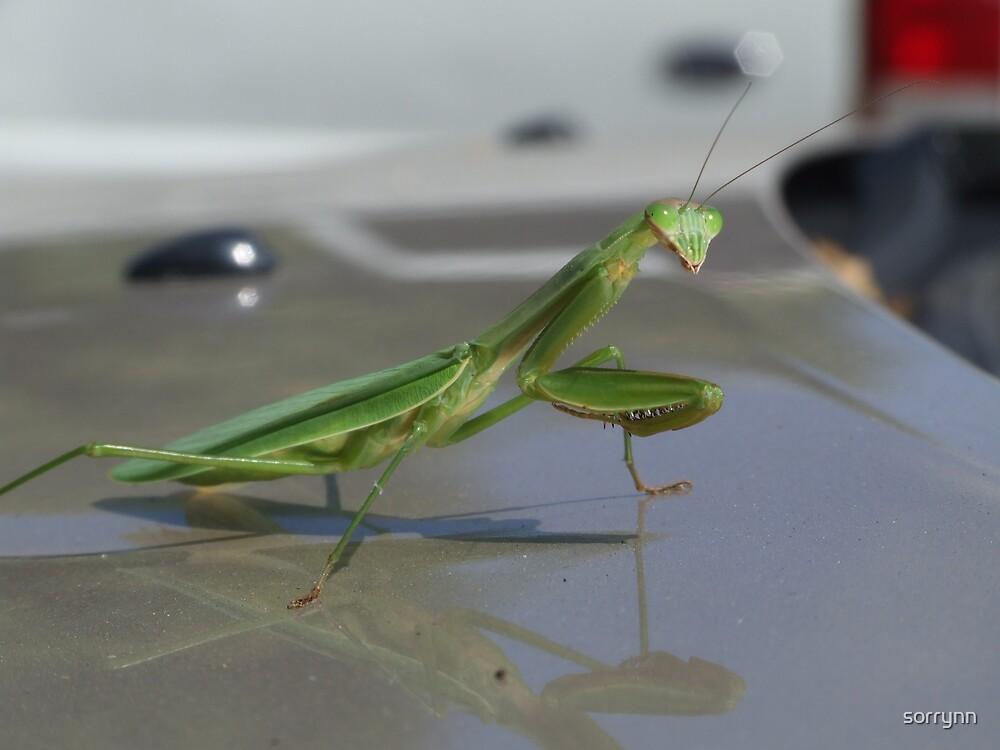 Mantis religiosa by sorrynn