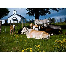 Holy Cows Photographic Print