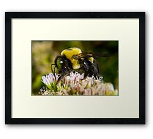 Bumble Bee's are Fuzzy Framed Print