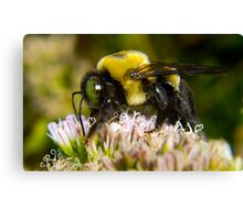 Bumble Bee's are Fuzzy Canvas Print