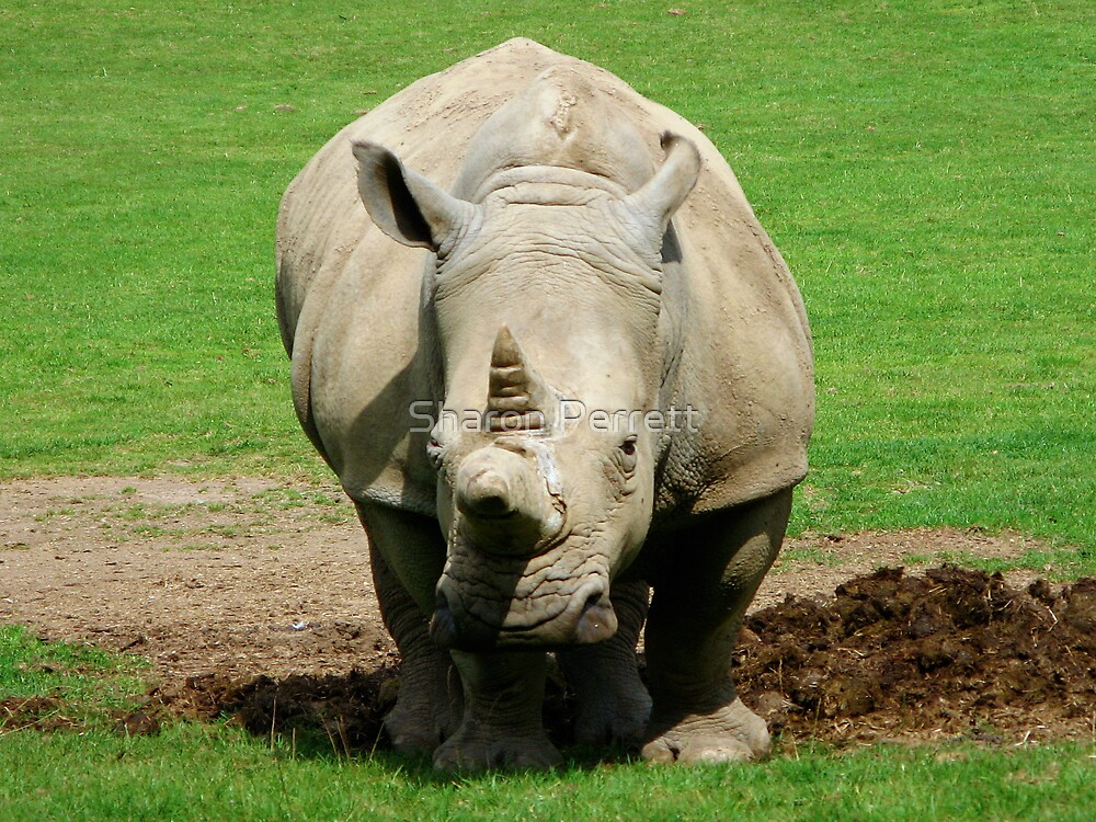 Rhino by Sharon Perrett