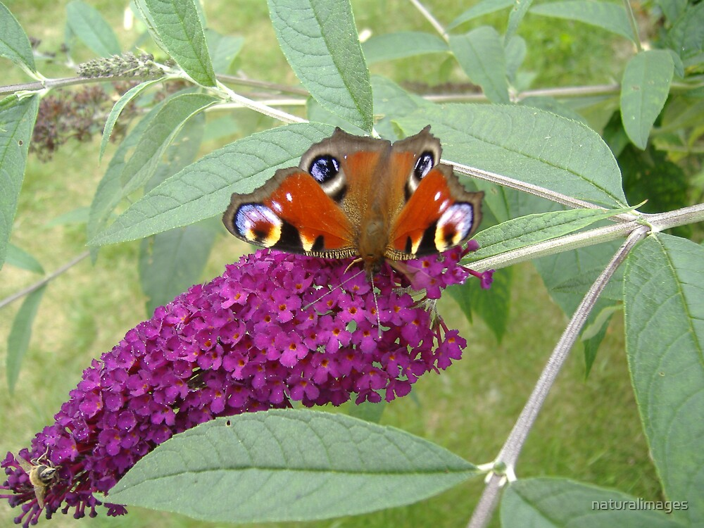 peacock on buddleia by naturalimages