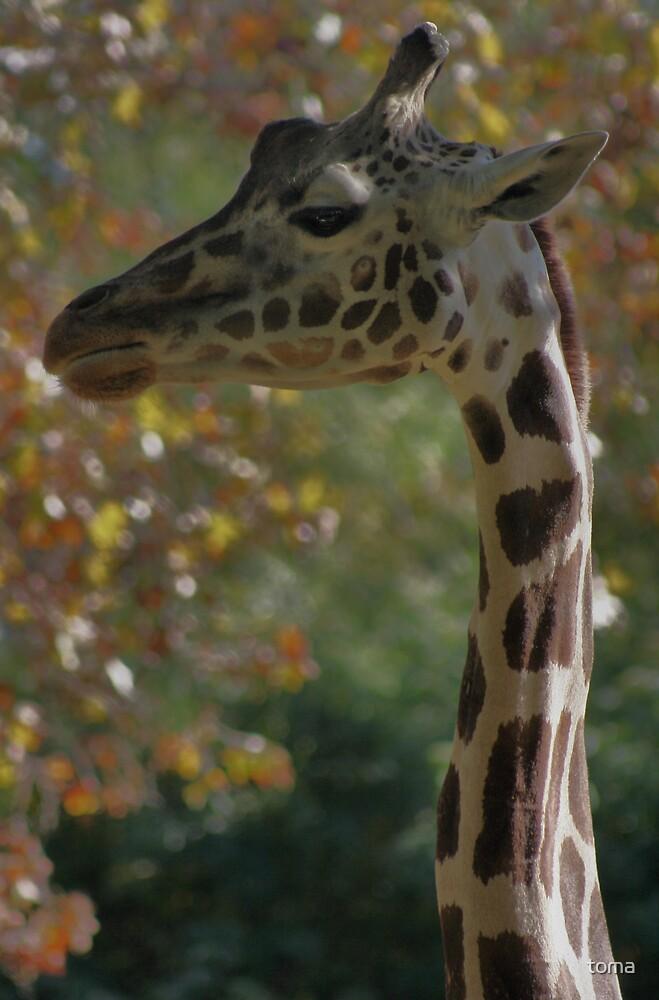 giraffe by toma