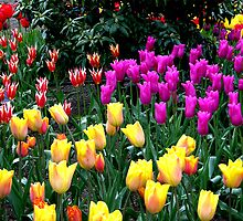 Tulip Festival by Rick Lawler