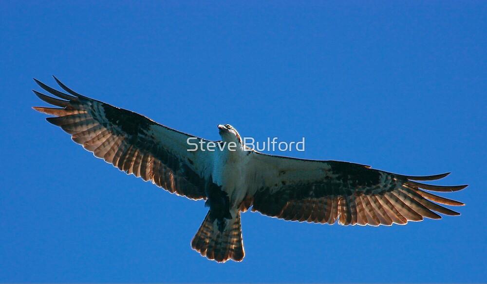 Osprey  by Steve Bulford