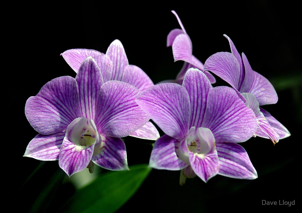 Purple Orchids by Dave Lloyd