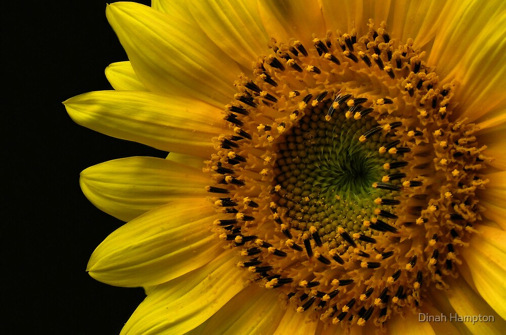 Sunflower by Dinah Hampton