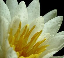 White Water Lily by BCStevens