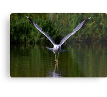 Seagull walks on water Metal Print