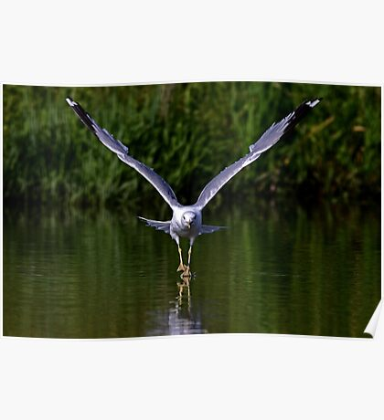 Seagull walks on water Poster