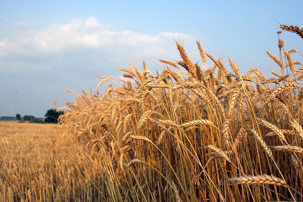 Winter Wheat by Gretchen  Mueller Steele