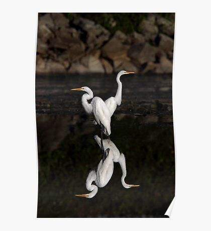 Reflective Moment - Great Egrets Poster