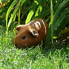 Wild Guinea Pig of Winnipeg by Geoffrey