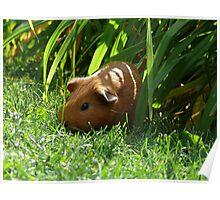 Wild Guinea Pig of Winnipeg Poster