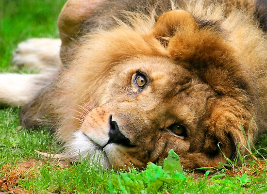Lazy Lion by Lisa G. Putman
