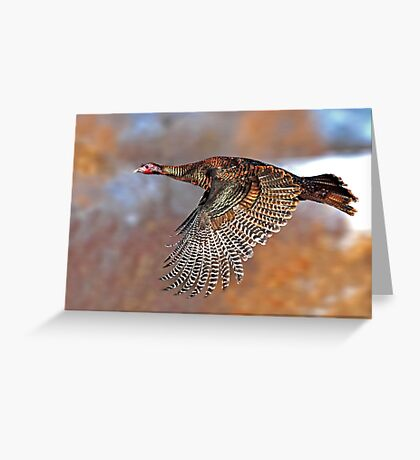 Turkey Flying - Wild Turkey, Ottawa, Canada Greeting Card