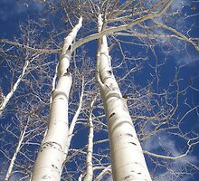Aspens in Winter by Julie Cooper
