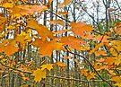 Maple Tree Autumn Foliage by MotherNature