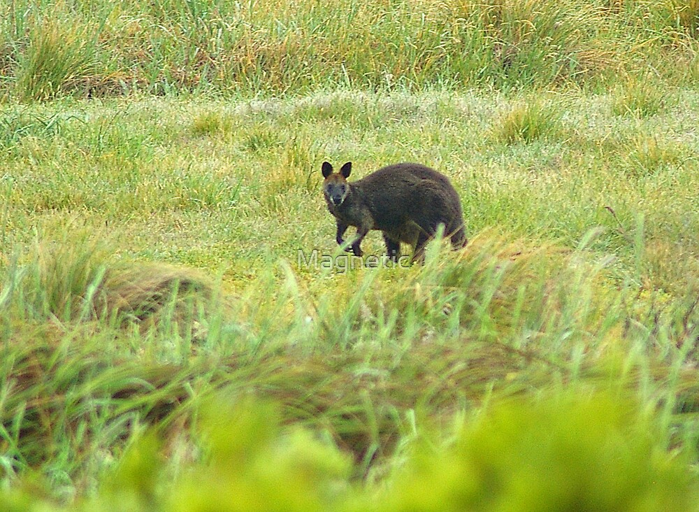 Morning Wallaby by Magnetic