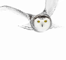 Eyes on the prize - Snowy Owl Sticker