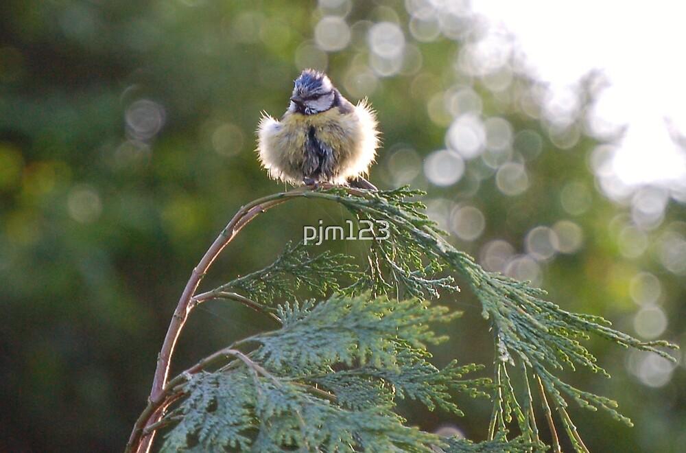 Blue Tit by pjm123