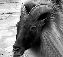 goat by mikec
