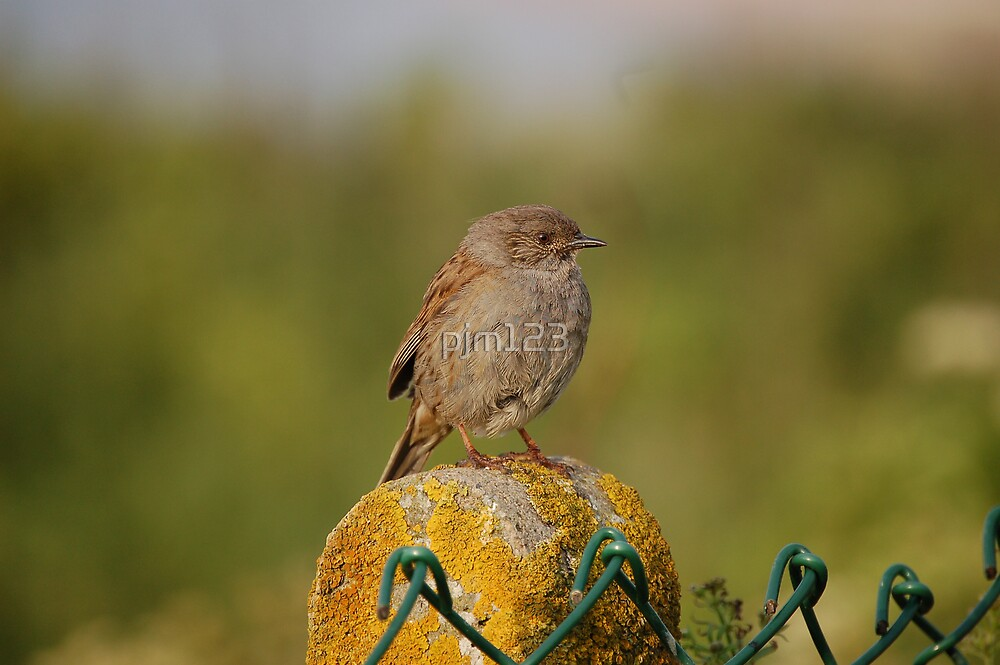 Dunnock by pjm123