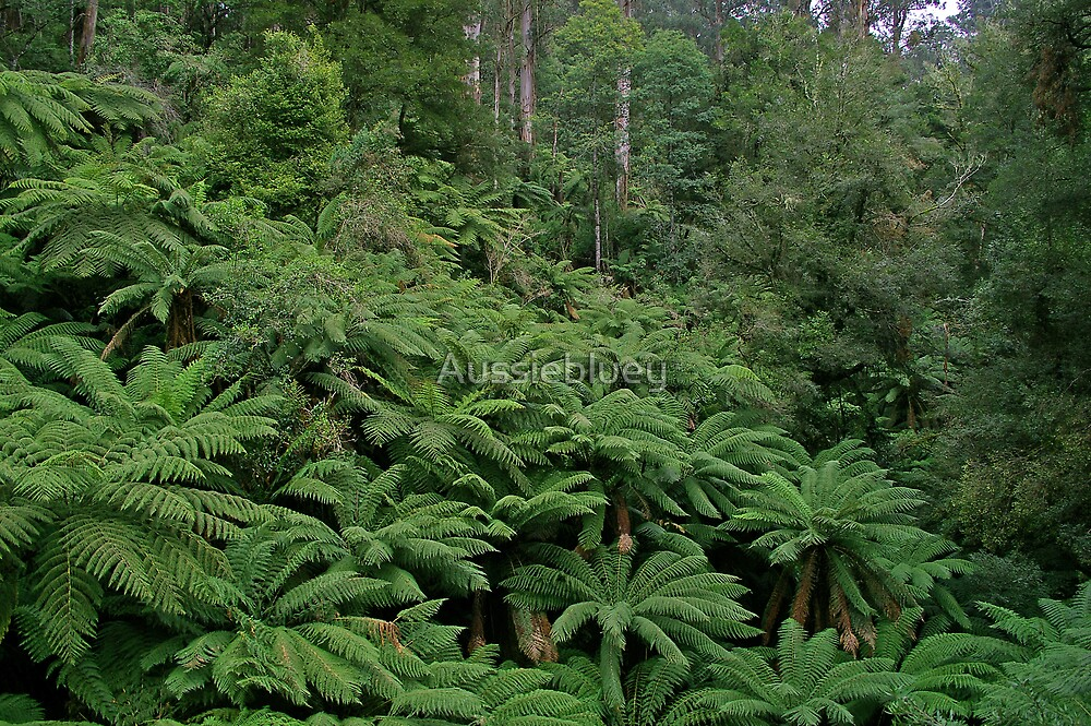 Tree Ferns. by Aussiebluey